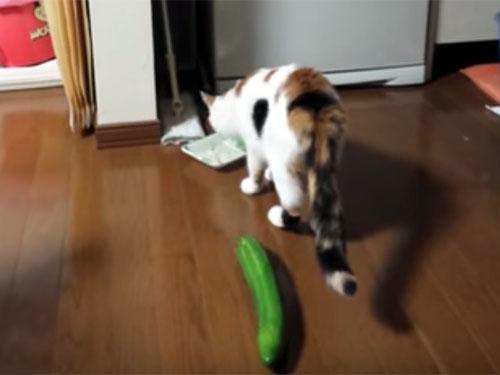 猫の背後に立派なキュウリが…