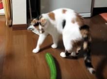 猫がキュウリとご対面!