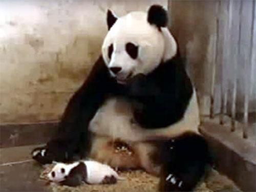 母パンダが食事をしている前に、赤ちゃんパンダが寝そべっています。