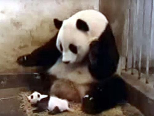 母パンダの驚いた様子が笑えます。