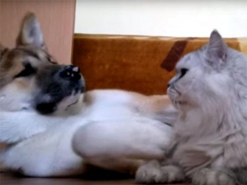 冷静なペルシャ猫の視線