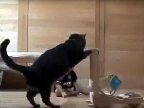 猫が赤ちゃんの目の前で、手押し車の実演をしています。