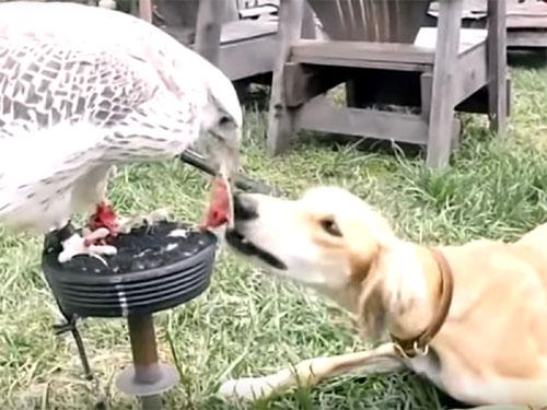 ハヤブサから肉をもらう犬♪ 「世の中は、プライドでは食べていけません」