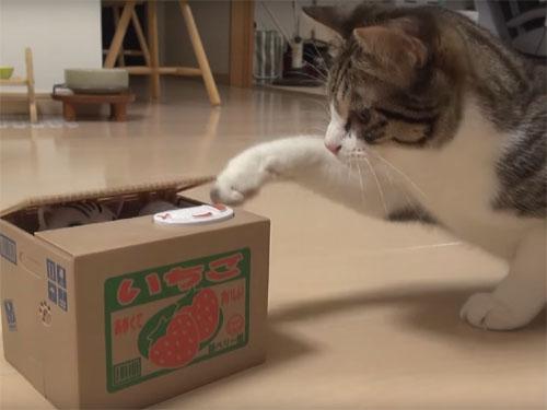 招き猫の貯金箱のボタンを押して遊ぶ猫♪