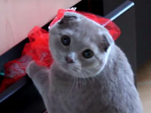 イタズラを見つかったスコティッシュフォールドの猫の顔がかわいすぎる!