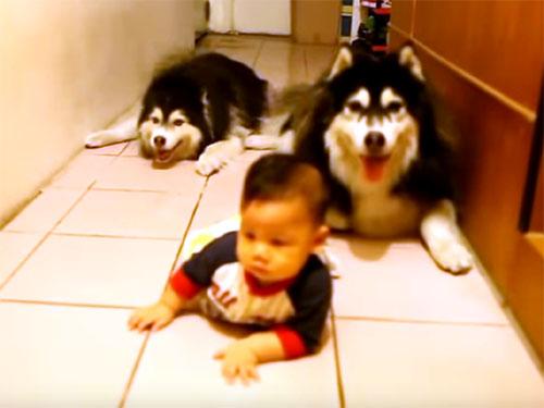 赤ちゃんのハイハイを真似する二匹のハスキー犬