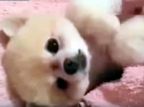 お腹を撫でられ続けたい可愛い子犬
