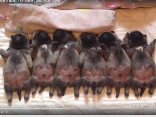 パグの赤ちゃん大集合! 6匹並んで寝ています♪