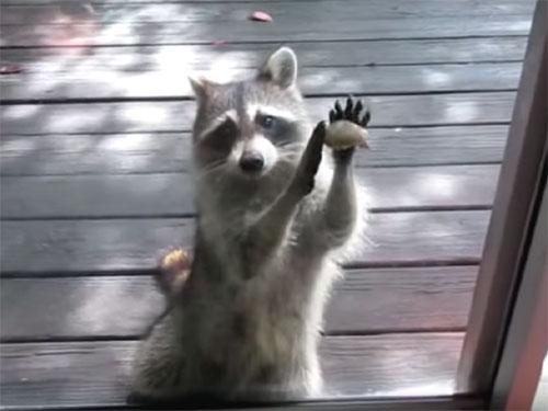 「餌が無いよ!」窓ガラスを叩くアライグマ