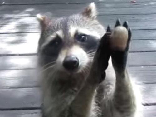 窓を叩いて、餌を催促するアライグマ