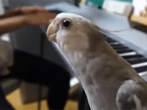 「となりのトトロ」を歌う天才オカメインコのぽこちゃん♪ ドヤ顔で楽しそうに歌っています!