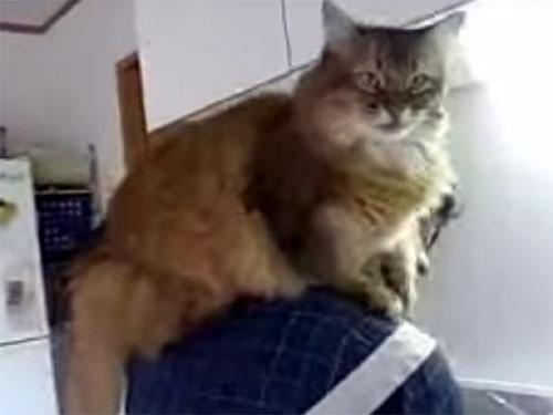 甘えん坊のおんぶ猫