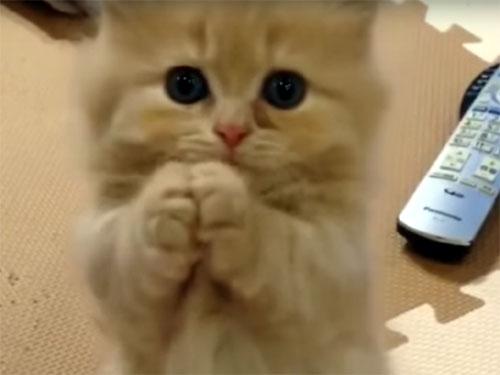 おねだりポーズが可愛すぎる子猫。 「お願い」とお手々を合わせて、つぶらな瞳もウルウルです♪