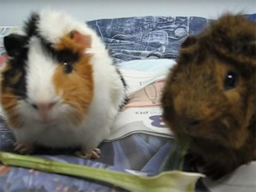 シンクロして仲良く食べる二匹のモルモット♪