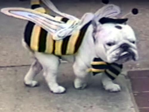 ミツバチのコスチュームを着たブルドッグ