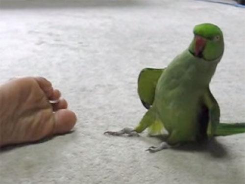 足くさダンスを踊るインコ♪ 「足が臭いわ~!」