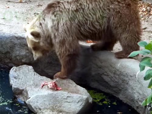溺れているカラスを助ける優しいクマ