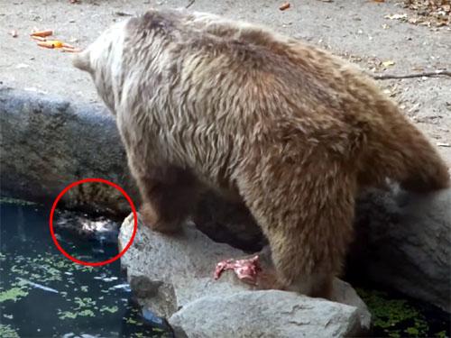 溺れているカラスを助ける優しいクマさん♪ 動物だって、弱肉強食の世界だけじゃない!