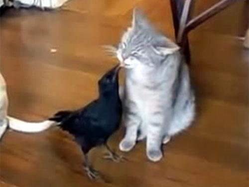 カラスが猫に餌をあげる