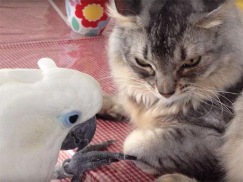 猫に触りたくて仕方のないオウム