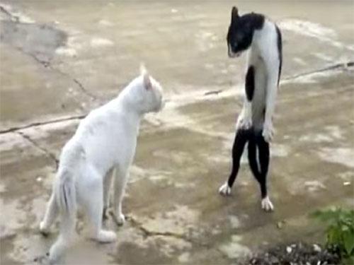 アチョー! ブルース・リーのように構えるカンフー猫