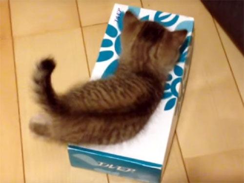 ティッシュ箱に入りたい子猫♪ でも可愛い先客がいました!