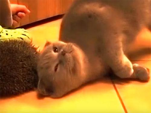 ブリティッシュショートヘアの猫が、ハリネズミにスリスリ 「気持いいにゃ~♪」
