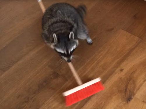 アライグマがお掃除をして、ご褒美をおねだり