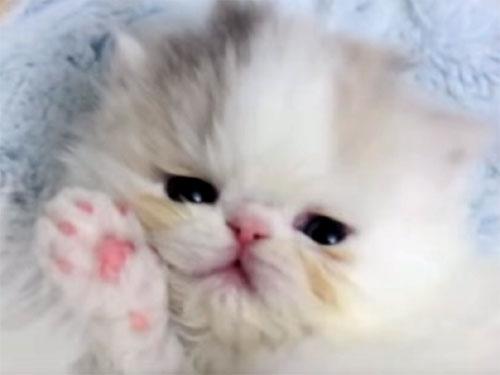 癒やされるぅ~♪ 生後4週間のエキゾチックショートヘアの猫の赤ちゃん