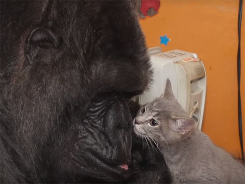 ゴリラのココが44歳の誕生日に2匹の子猫をもらう