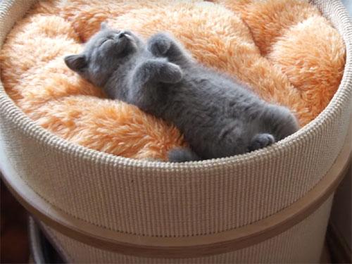 ブリティッシュショートヘアの子猫が爆睡1