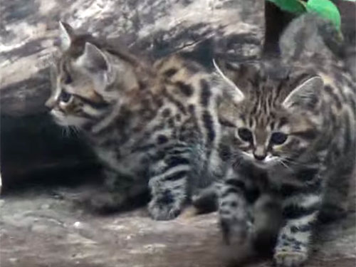 世界最小の猫クロアシネコの子猫