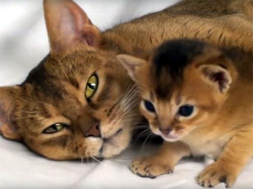 アビシニアンの可愛い猫の親子