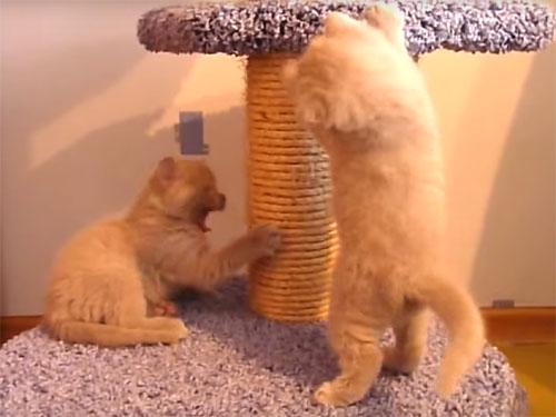 こてっ! コントのように落ちる子猫の二連発