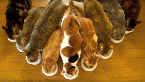 9ニャンズが勢揃い! 見事な猫フォーメーションを組んで、ごはんを食べています♪