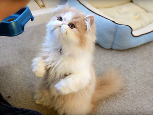 ペルシャ猫の可愛い子猫が、立ちながら食べる
