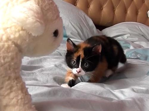 羊のぬいぐるみに戦い挑む子猫!でも勝負はお預けニャ?