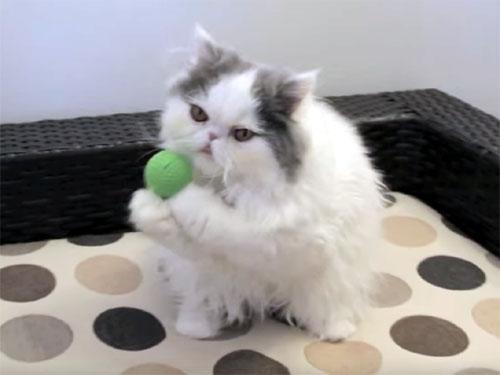 名手のペルシャ猫♪ ボールをナイスキャッチ!