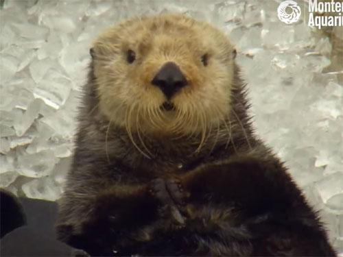 「キーン!」貝と間違えて氷を食べたラッコが、何とも言えない表情に!