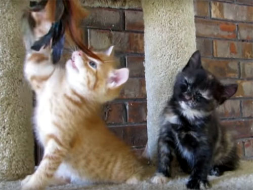 居眠りしてバタン!と倒れる子猫のおもしろ動画