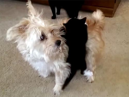 「何かが憑いているわん?」犬に必死に張り付く可愛い子猫♪