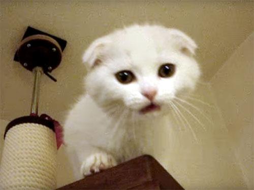 高い場所から降りたいスコティッシュフォールドの子猫