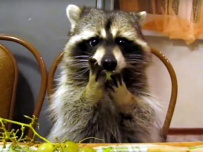 椅子に座ってブドウを食べる可愛いアライグマ