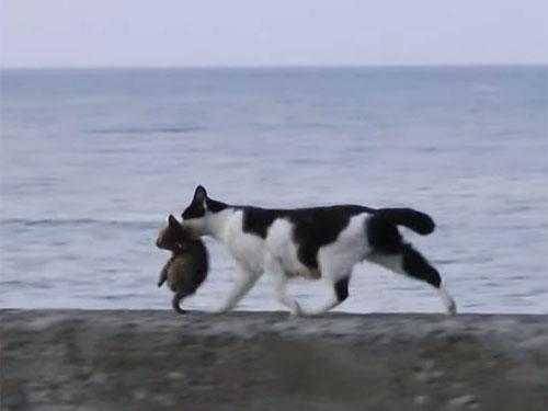 子猫をくわえて、海の堤防を歩く母猫♪ 猫の親子の絵になる光景が美しい!