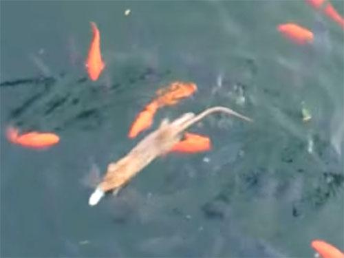 「えっ、何が出た?」池の鯉に混じってはいけないネズミが…!