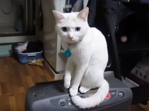「勝負するにゃ?」猫と主人の果てしない戦い