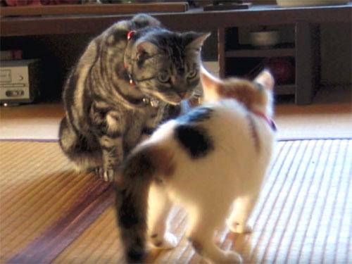 里親に出した子猫が、先住猫と仲良くなるまでの記録