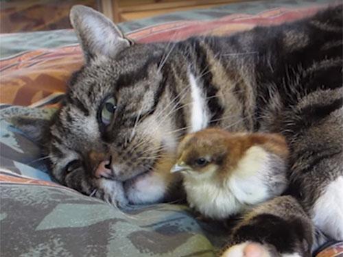 「あったまるにゃ~♪」猫に抱っこされるヒヨコ