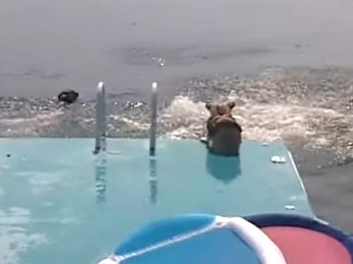 海に飛び込む寸前で怖じ気づくコーギー