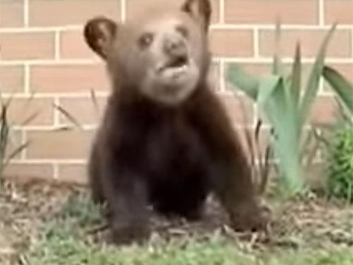 加トちゃんもびっくり! 子熊がクシャミを大連発